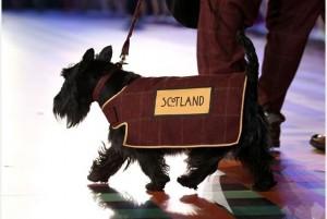 Scottish Terrier - Glasgow Commonwealth Games
